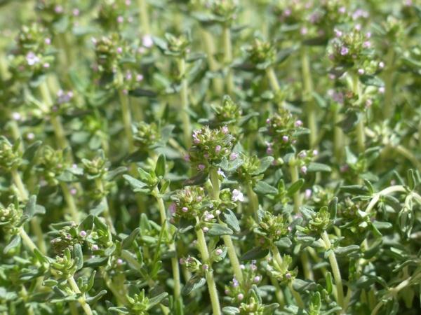 thyme_flower_kitchen_herb_232391